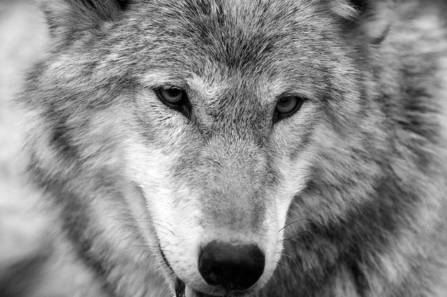 Wolf sanctuary of pennsylvania